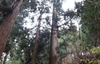 旧三川村にある実家の杉を使用しました。